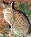 File:Ocicat-sitting.jpg