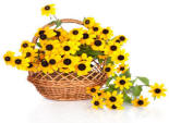 Black-eyed Susans are poisonous to cats. See more toxic plants below.