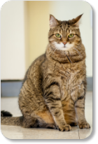 Arthritis is common in cats that are overweight and middle age.